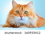 The Portrait Of Red Cat