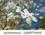 White Magnolia Flower On Tree...