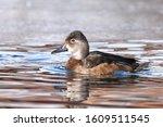 A Female Ring Necked Duck Swim...
