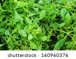 basil   fresh vegetable in the... | Shutterstock . vector #160960376