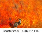 Small photo of Australian wildlife in bushfires of Australia. Kangaroo with fire on the background. The 2020 devastating wildfires affecting Australia are considered the most deadly ever seen.