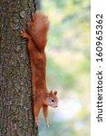squirrel | Shutterstock . vector #160965362