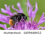 Meadow Cornflower  Bombus...