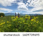 Lupines and other wildflowers growing in a meadow in Sugar Hill, New Hampshire.