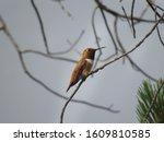 Golden Hummingbird On a Branch