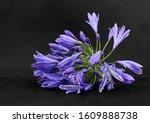 A Vibrant Purple Blue Coloured...