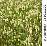 Постер, плакат: Blowfly Grass briza maxima