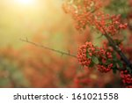 Red Berries In Sunset