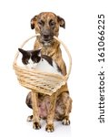 Stock photo dog holding in its mouth basket with a cat isolated on white background 161066225