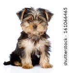 Stock photo yorkshire terrier puppy sitting in front isolated on white background 161066465