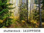 Forest Trees Background. Autum...