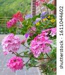 Beautiful Verbena Flowers In...