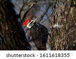 Pileated Woodpecker Between Tw...