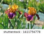 Irises Are Wonderful Garden...