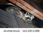 American raccoon climbed into...