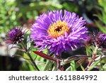 Macro Photo Of A Purple Aster...