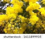 Australian Golden Wattle In...