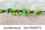 Lucky Clovers. Nature Green...
