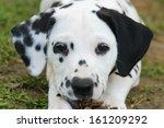 Dalmatian Puppy  Seven Weeks...