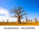 Small photo of Baobab tree (Adansonia)