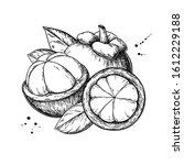 mangosteen vector drawing. hand ... | Shutterstock .eps vector #1612229188