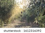 Small photo of Olive oil trees full of olives. Landscape Harvest ready to made extra virgin olive oil.