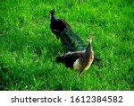 Peacock Couple In Green Grass...