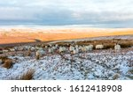 Swaledale Sheep. A Flock Of...