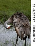 A Sandhill Crane With A Long...