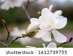 White Magnolia Flower On A Tree ...