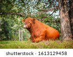 Red Angus Bull Resting Under A...