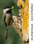 Black-capped Chickadee (Poecile atricapillus) entering a nesting cavity with a green catepillar.