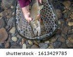 Bull trout in the net