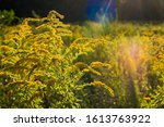 Small photo of Canada goldenrod in Sunshine with lens flare, Solidago canadensis, summer, yellow, meadow, close up
