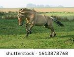 Norwegian Fjord Horse  Stallio...