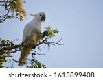 Australian Sulphur Crested...