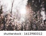 Winter Flower Frozen With Sun