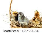 Colorful Chicks Group From...