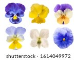 Pansy Flowers Mix Isolated On...