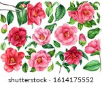 Set Of Camellias Flowers  Buds...