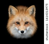 Close Up Red Fox Portrait...