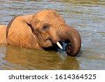African Elephant  Loxodonta...