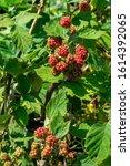Vibrant Blackberries Ripening...