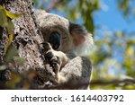 Koala In The Wild High Up In A...