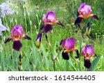 Blooming Irises In The Garden....