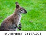 Wallaby On A Farm