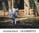 Cute Little Pig On The Farm....