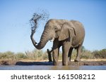 An Old African Elephant Bull...