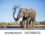 An Old African Elephant Bull...