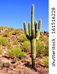 Giant Saguaro Cactus In The...